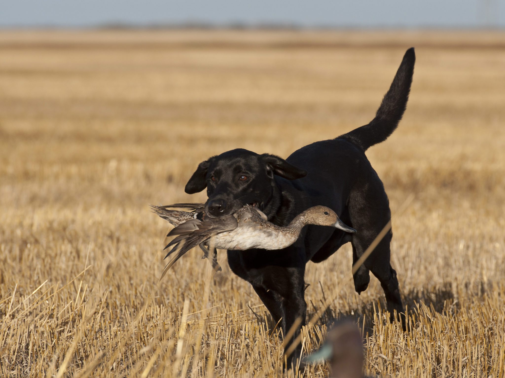 Double Reed Duck Calls Gun Dog