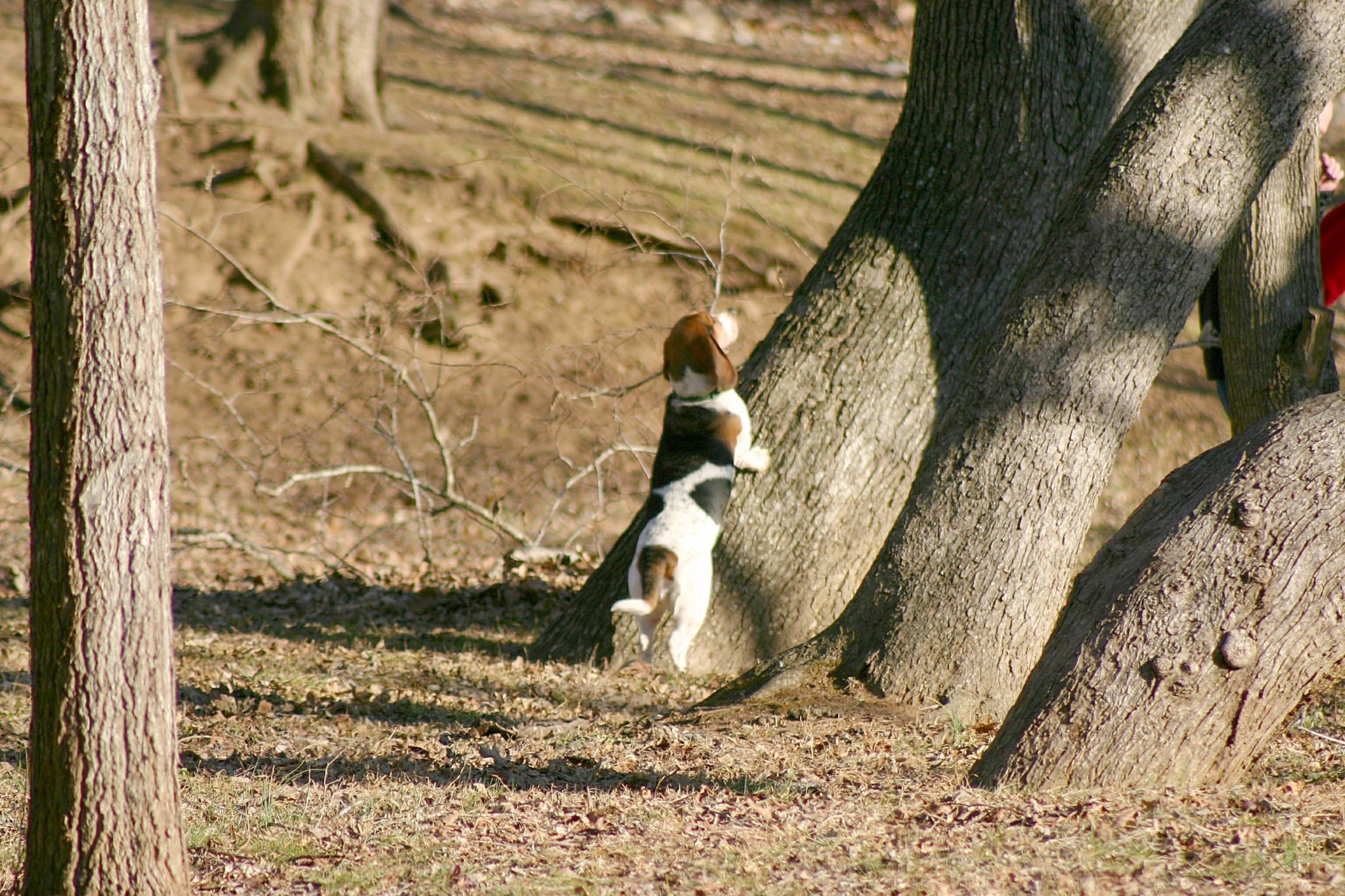 Treed Squirrel