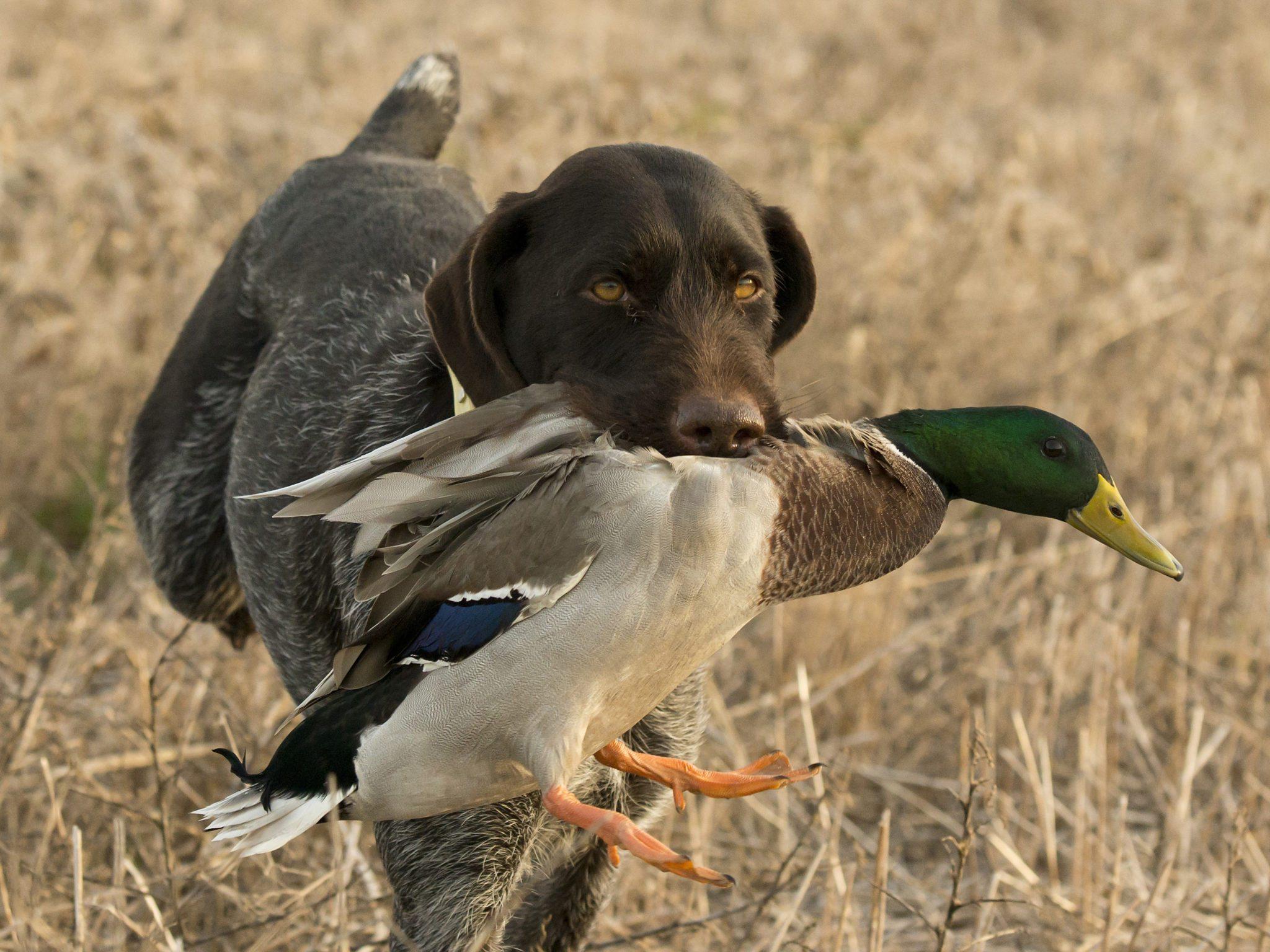Best Orange Reed Duck Call